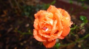 Letzte Rose des Jahres