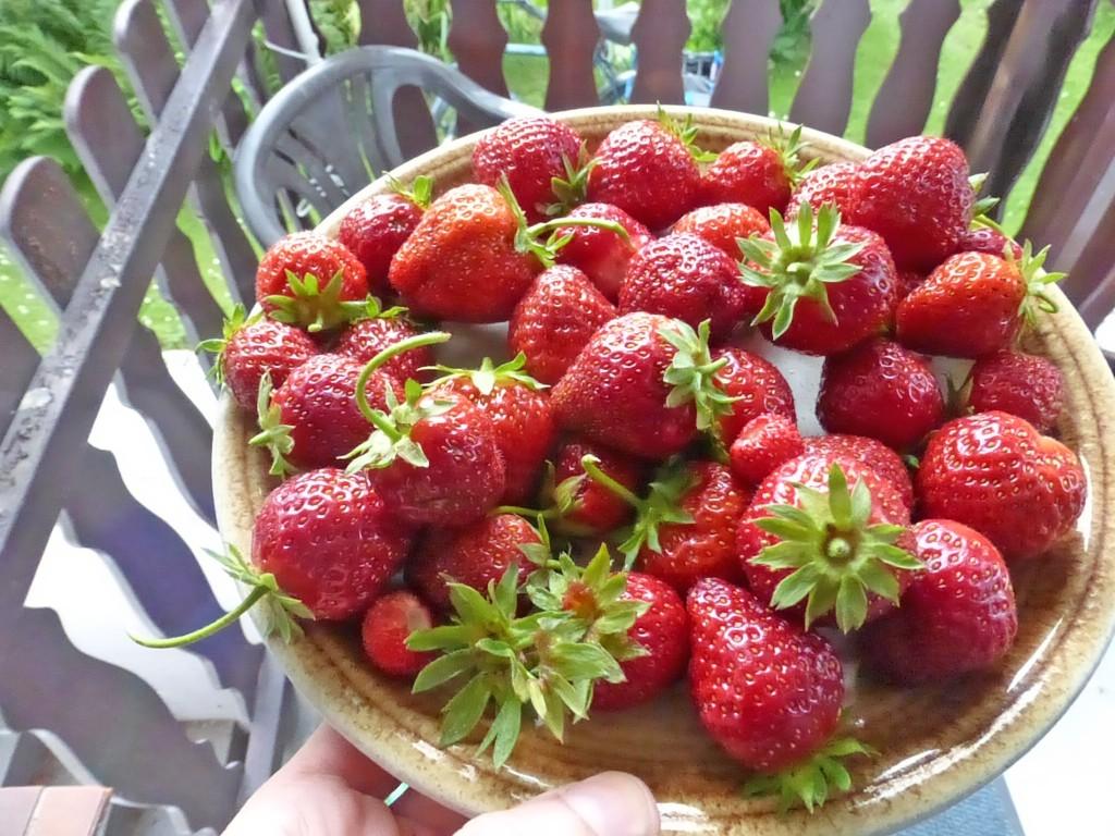 Erste Ernte: Erdbeeren
